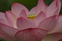 花の歳時記 蓮3