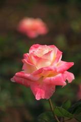 バラが咲いた1