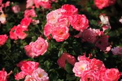 バラが咲いた6