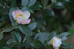 山茶花咲く頃1