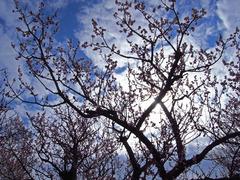 梅のシルエット