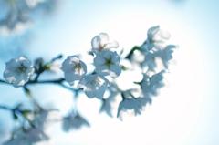 遅ればせながら桜など