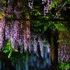藤の樹海 Ⅱ