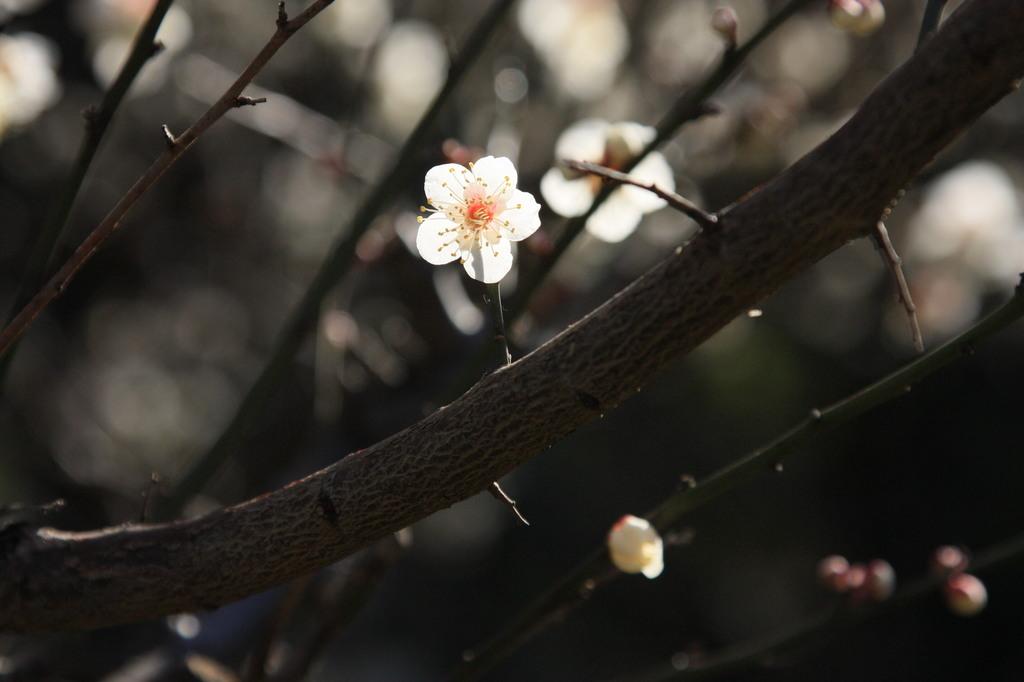 こんな咲き方。
