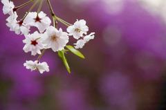 紫色の春に