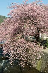 河津桜 東の関脇