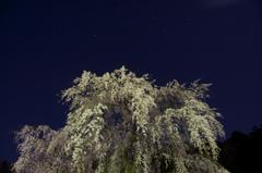 しだれ桜と北斗七星 1