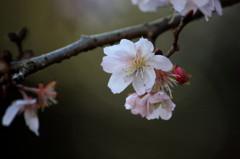 真冬の桜 ~ ジュウガツザクラ