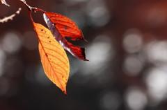 残秋のサクラ