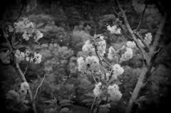 牡丹桜と桜吹雪