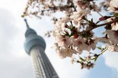 SkyTree の花見