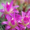 サボテンの花 3