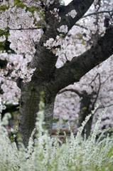 ご近所桜 2016 #3