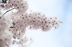 ご近所桜 2016 #2