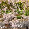 桜暖簾の向こう