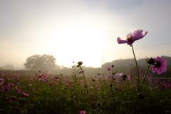 川霧に咲く秋桜