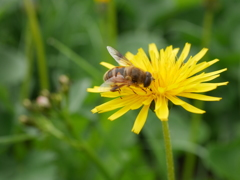 シロウマタンポポとミツバチ