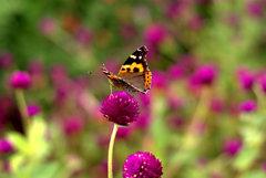 蝶ですか?蛾ですか?