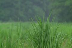 雨の日の緑