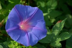河川敷の夏の花6