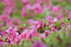 May Pink 3