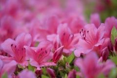 May Pink 5