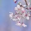桜にバイバイ