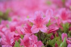 May Pink 6