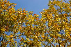 黄葉と青空