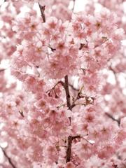 桜色のどか