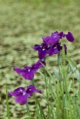 梅雨時の紫