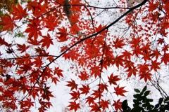 初冬RED