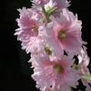 5月のピンクの形