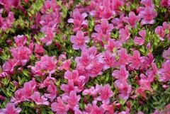 May Pink 2