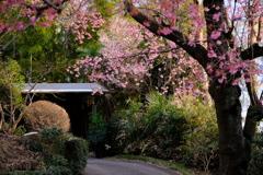 桜のアプローチ