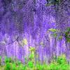 パープルシャワー 「藤の花」