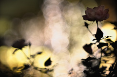Rose of phantom