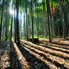 Shine of bamboo forest