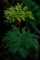 Tiny fir tree