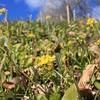 小さい菜の花