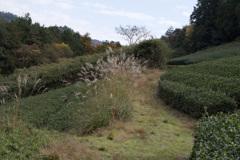 茶畑の道・・・①