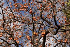 柿の木のある道・・・③