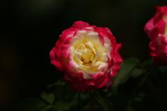 モンロ―の様な薔薇
