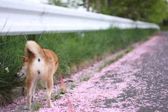 八重の桜道