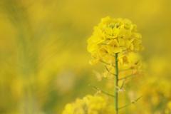 菜の花ワールド