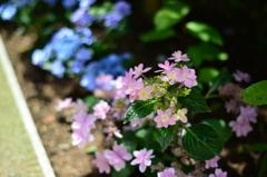 紫陽花のつづき・・・