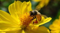 ミツバチ β