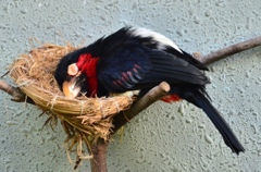居眠りヒゲゴシキドリ