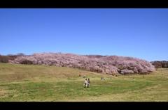 根岸森林公園の桜