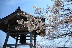 鐘つき堂と桜